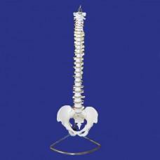 YAL037 Модель позвоночника и таза человека
